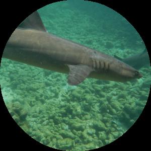 snorkeling with sharks in karimunjawa