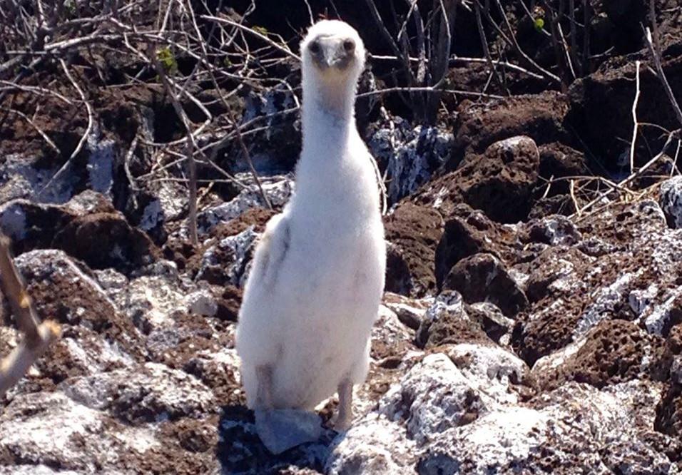 penguin galapagos